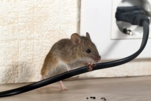 Mice Control, Pest Control in Greenhithe, DA9. Call Now 020 8166 9746