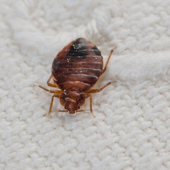 Bed Bugs, Pest Control in Greenhithe, DA9. Call Now! 020 8166 9746