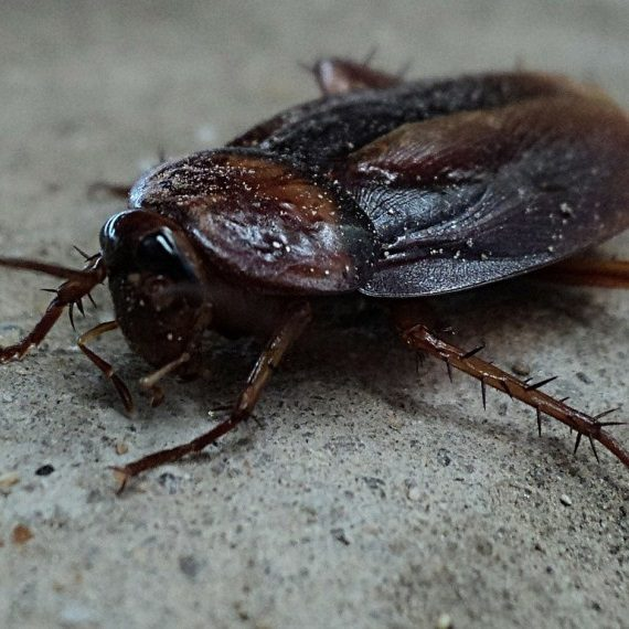 Cockroaches, Pest Control in Greenhithe, DA9. Call Now! 020 8166 9746