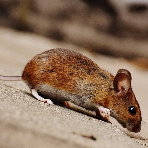 Mice, Pest Control in Greenhithe, DA9. Call Now! 020 8166 9746
