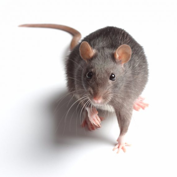 Rats, Pest Control in Greenhithe, DA9. Call Now! 020 8166 9746